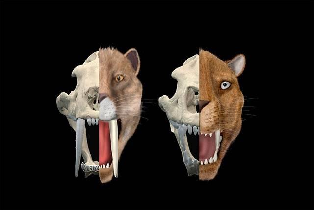 Las Especies De Tigres Dientes De Sable Tenían Estrategias De Caza Diferentes