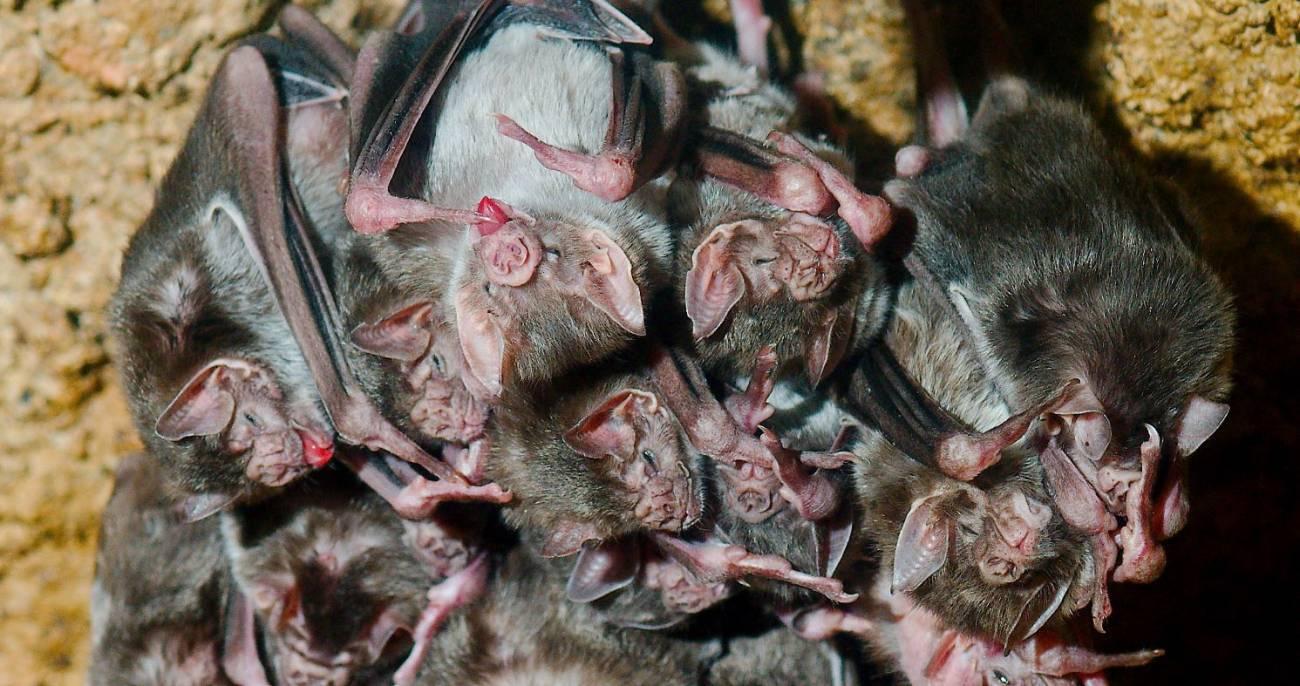 Los murciélagos evitan el contacto con otros ante las enfermedades