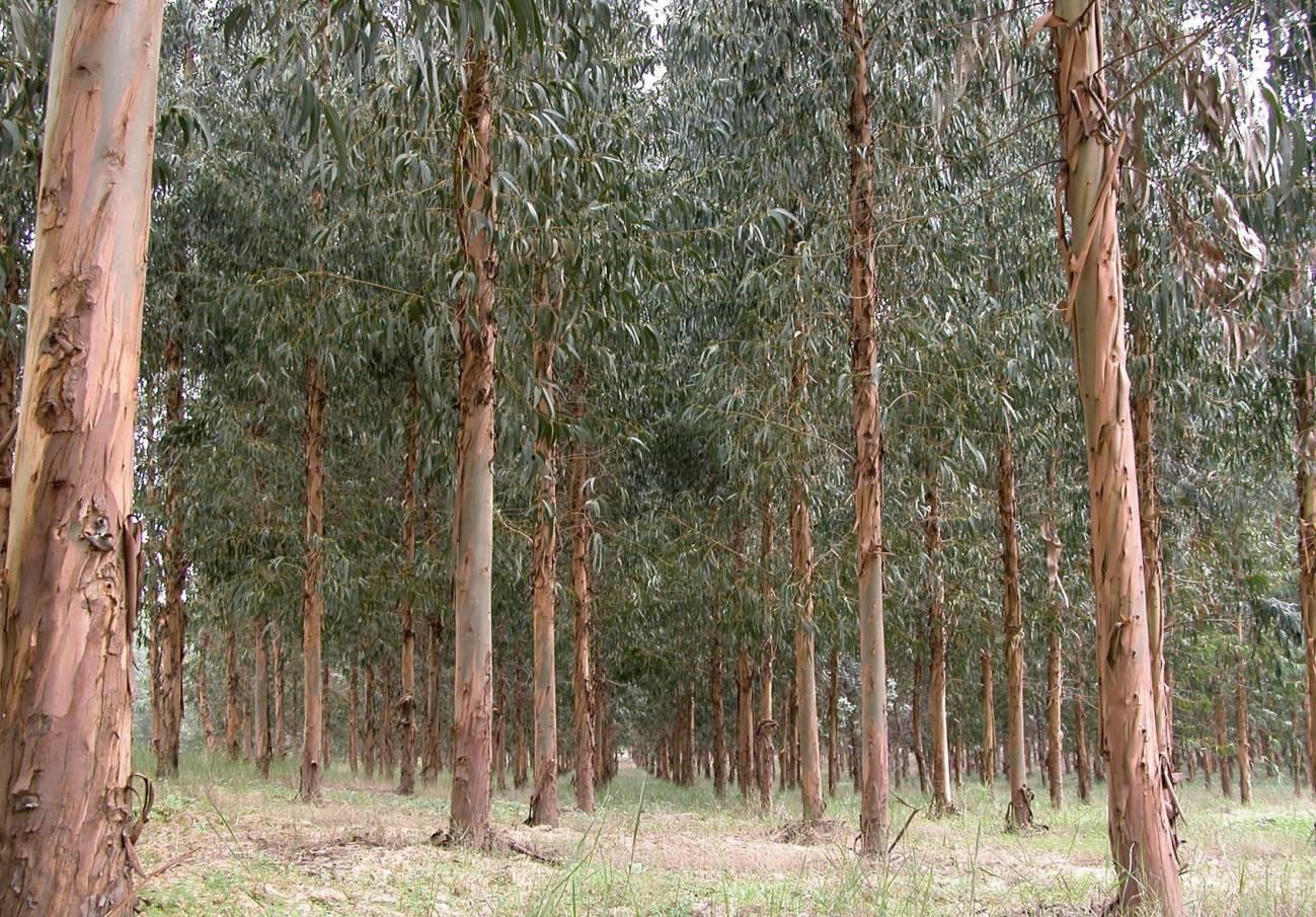 Más eucaliptos,  más   coníferas. Consecuencias de la sed de beneficio$ en la húmeda Galicia. El sector forestal. - Página 6 El-eucalipto-entre-el-amor-y-el-odio