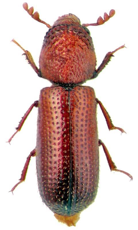 escarabajo común
