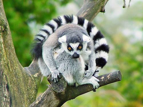 Lemur. Foto: Tambako.