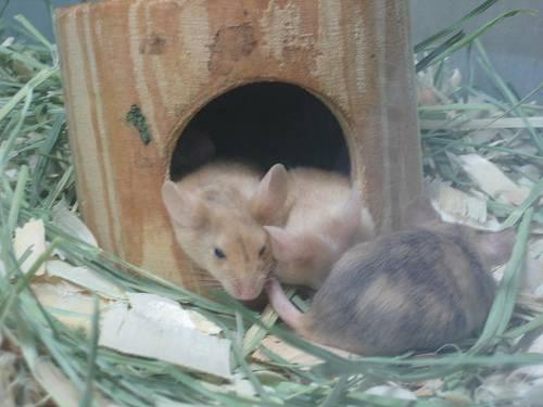 Las ratonas preñadas ignoran el olor de los machos. Foto: Christy Bassman