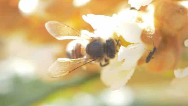 abejas, flor