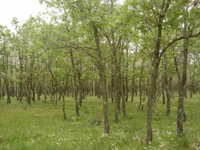 Quercus pirenaica.