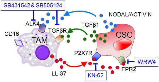 Descubren una proteína clave en la activación de las células madre de cáncer de páncreas
