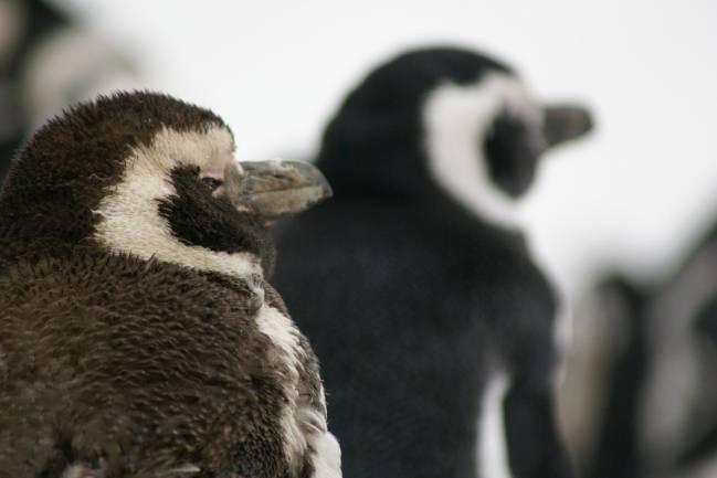 Las plumas de los polluelos de pingüino de Magallanes menores de 25 días no son impermeables./ Hixaga