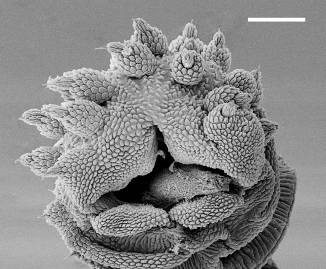 La cabeza del gusano de terciopelo permanece en una posición fija cuando lanza el chorro de baba