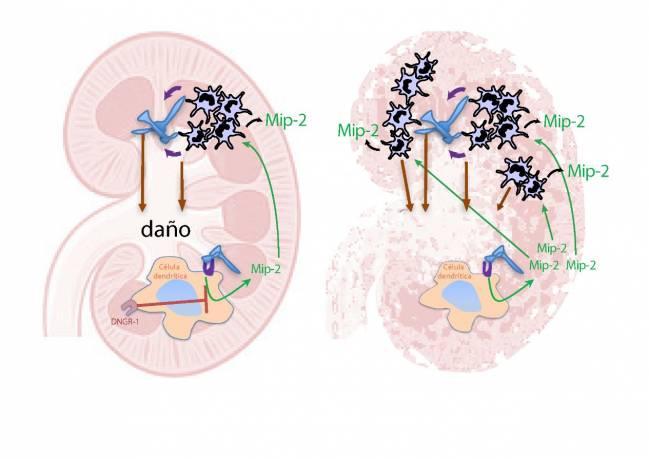 modelo de ratones deficientes en DNGR-1