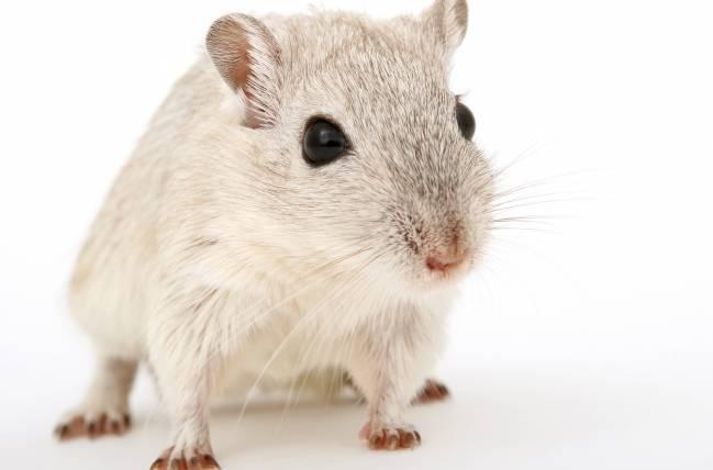 Los investigadores modificaron genéticamente a los ratones para que desarrollaran la enfermedad. / Robert Owen-Wahl