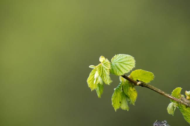La salida prematura de las hojas de los árboles europeos se ha frenado desde 1980