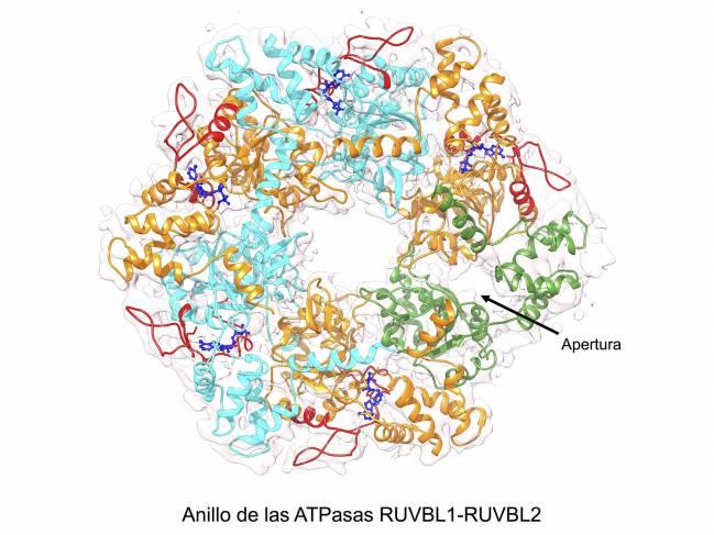 Anillo RUVBL1-RUVBL2