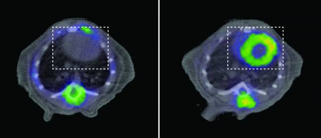 Estudios de PET en animal sano (izquierda) y animal con miocardiopatía dilatada e insuficiencia cardíaca por falta de la proteína YME1 (derecha). El corazón en ambos casos está señalado por el recuadro de línea discontinua blanca. Ver la captación intensa de glucosa en el estudio de la derecha (color amarillo), que está ausente en el animal sano de la izquierda.