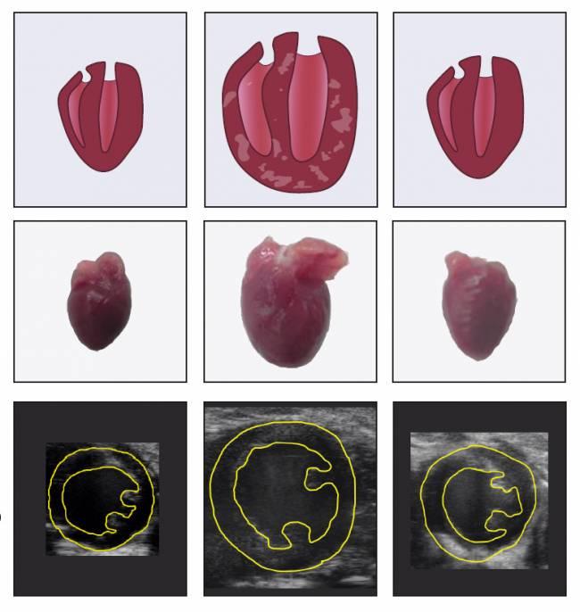 corazón de ratones