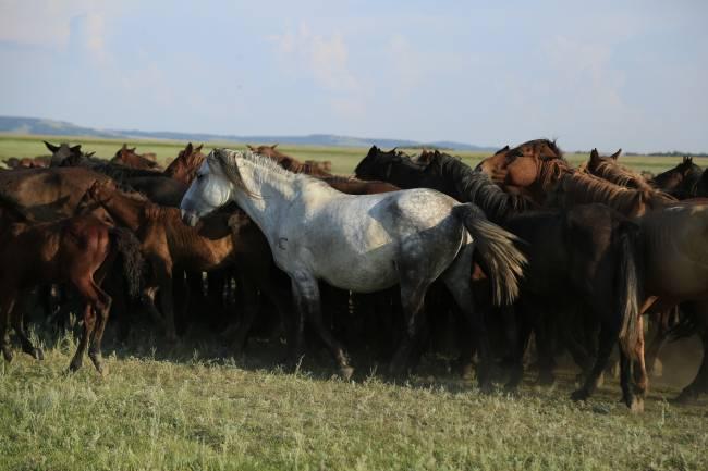 Caballos kazajos