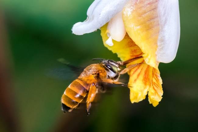 Esta foto muestra una abeja de la especie Amegilla insularis polinizando una flor