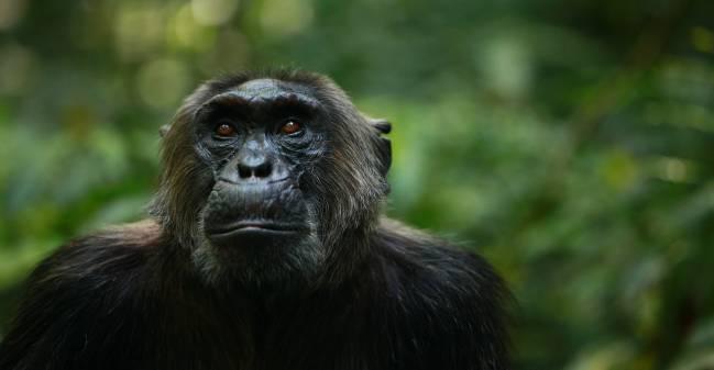 Un chimpancé del grupo Ngogo del Parque Nacional de Kibale en Uganda
