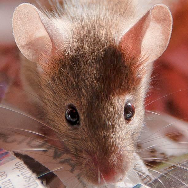 Ratón de laboratorio. Imagen: CdePaz