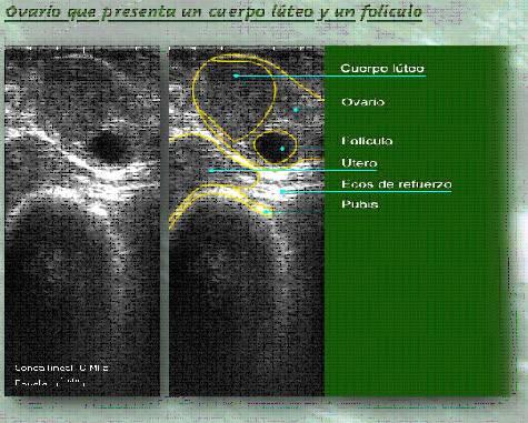 Ovario de una vaca con un cuerpo lúteo y un folículo