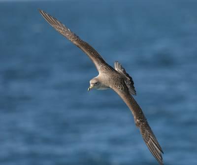 Un ejemplar de pardela (foto: José Maria Arco, SEO/Birdlife)