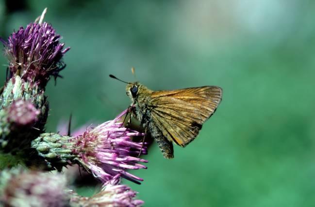 mariposa Dorada de Orla Ancha Ochlodes sylvanus (Esper) (Hesperiidae)