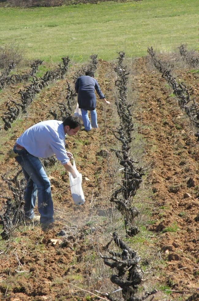 Científicos de la Universidad de León encalan suelos vinícolas del Bierzo durante un experimento para modificar la acidez del terreno.