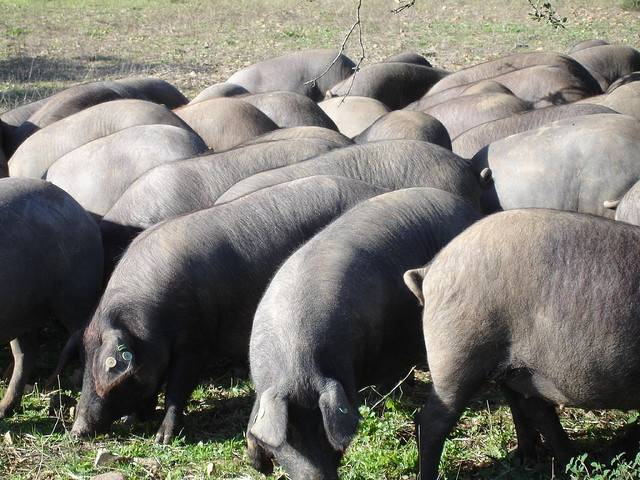 Cerdos ibéricos. Imagen: DiCYT.