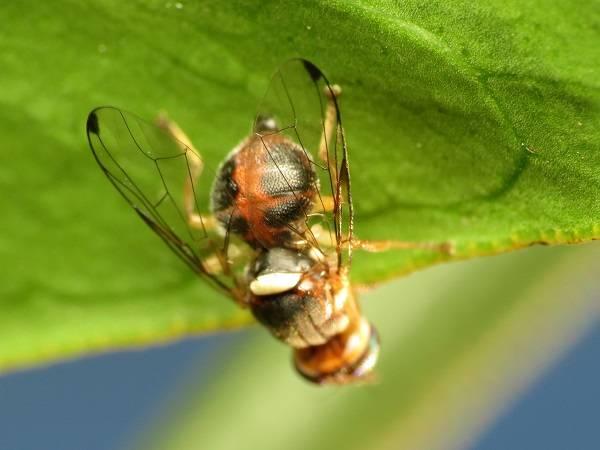 La mosca del olivo amenaza uno de los recursos más importantes de España. / Katja Schulz.