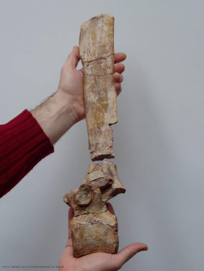 Vértebra de fósil de dinosaurio.