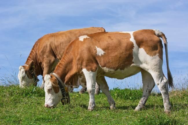 El tratamiento de las proteínas de la dieta de los rumiantes puede llegar a reducir más de un 10% la emisión de metano producido en la fermentación ruminal.