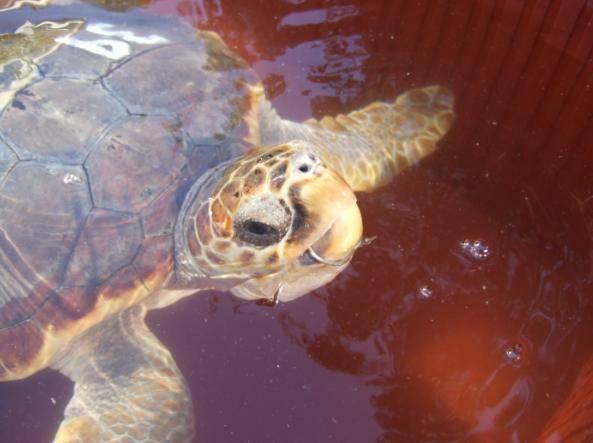 El 40% de las tortugas marinas capturadas por los palangreros y liberadas después en mar abierto mueren por las lesiones causadas en esta pesca accidental.