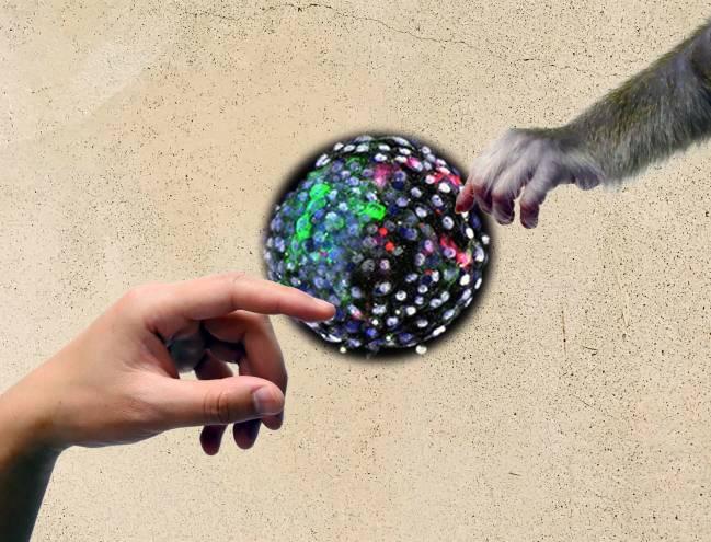 mano humana y mano de mono que se acercan