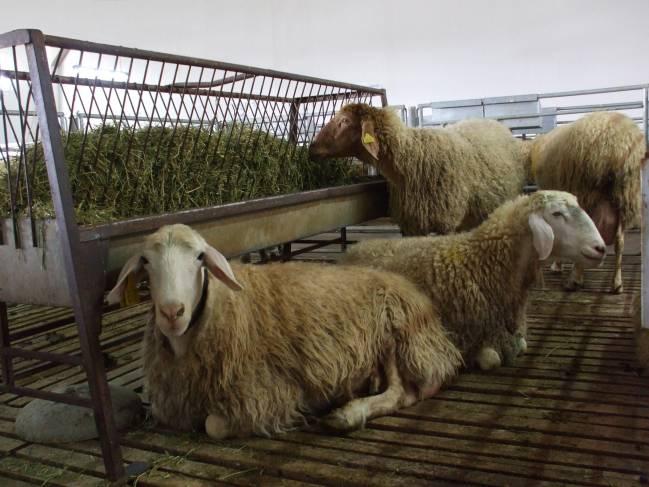 Una investigación de nutrición y genética acerca la posibilidad de mejorar las propiedades saludables de la leche ovina