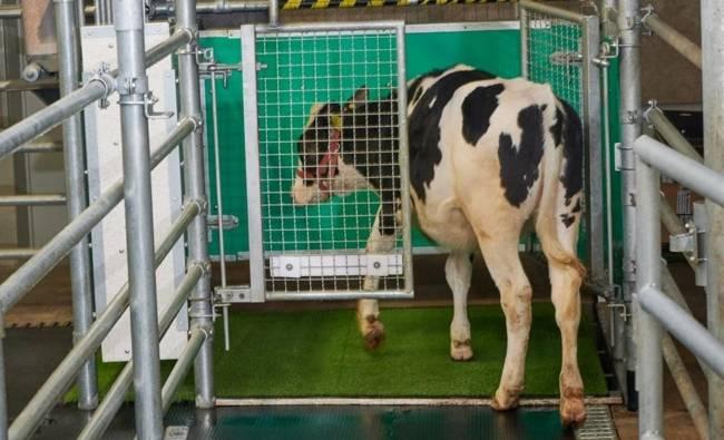 Una vaca yendo al baño