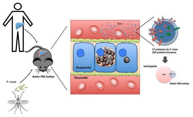 Infección de Plasmodium vivax en ratones humanizados