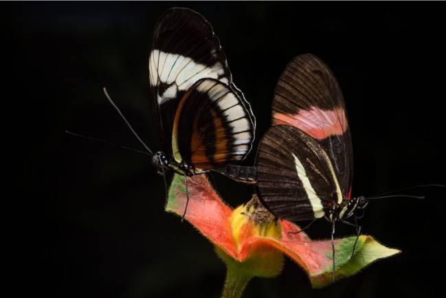 Reproducción de mariposas