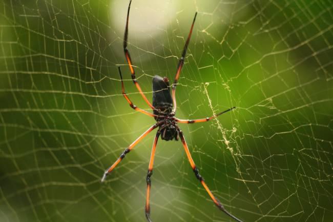 Araña de la especie 'Nephila inaurata'.