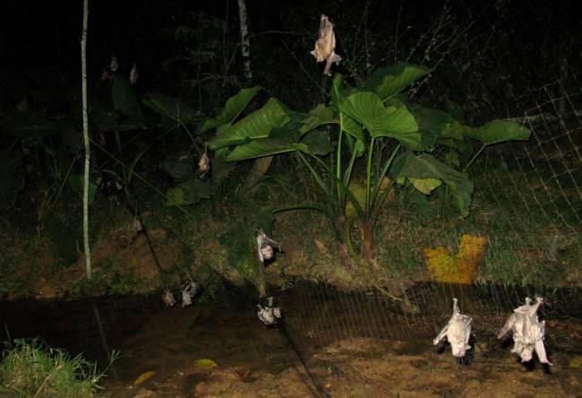 Murciélagos atrapados