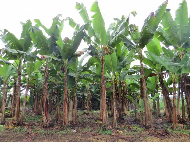Plantación de banano en Ecuador. Fuente: Ana Belén Guerrero. Grupo de Agroenergética