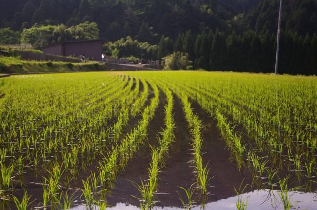 Cultivo de arroz.