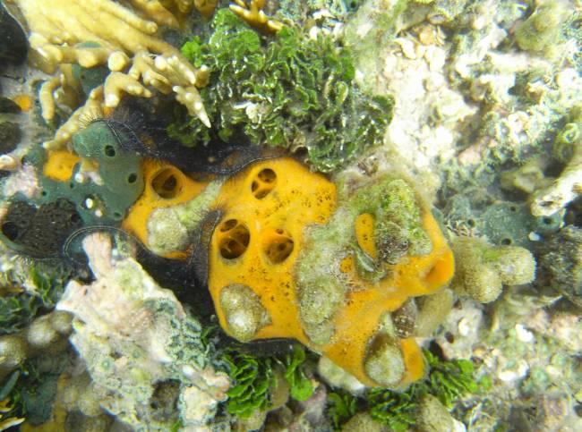 La esponja marina Mycale laevis abunda en arrecifes coralinos de mares tropicales y produce un vitelo heterogéneo con una mezcla de lípidos, proteínas e incluso glucógeno. Foto: Ana Riesgo (UB-IRBio)