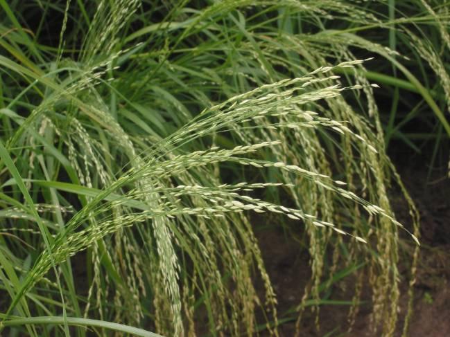 El tef puede ser un buen ingrediente en la formulación de nuevos alimentos a base de cereales