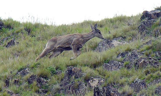 Fotografía del ciervo Taruka (Hippocamelus antisensis)