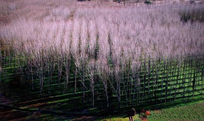 Plantación de chopo.