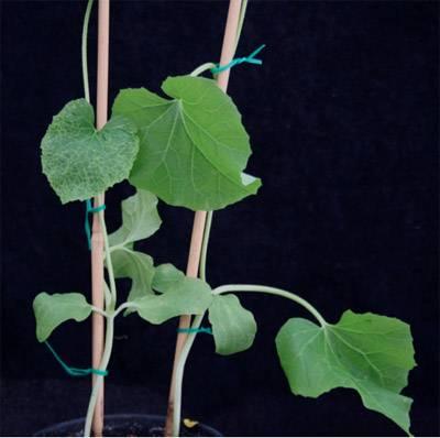 Plántulas de melón inoculadas con virus. A la izquierda, planta no resistente; a la derecha, planta resistente. Imagen: CSIC