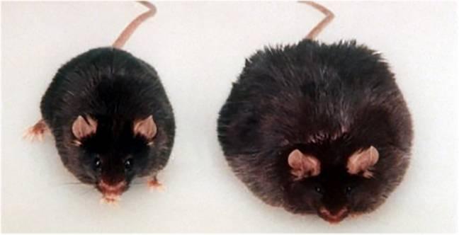Una rata Zucker similar a la empleada para este estudio, y que constituye uno de los modelos genéticos de obesidad mejor caracterizados.