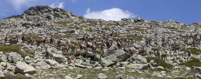 Rebaño de cabras monteses (machos) en el Parque Nacional de la Sierra de Guadarrama, Madrid.