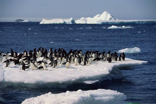 Pingüino Adele. Fuente: intef