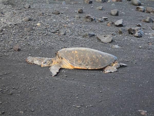 La tortuga verde está incluida en la lista roja de especies amenazadas según la Unión Internacional para la Conservación de la Naturaleza (imagen: Lluís Cardona, UB-IRBio).