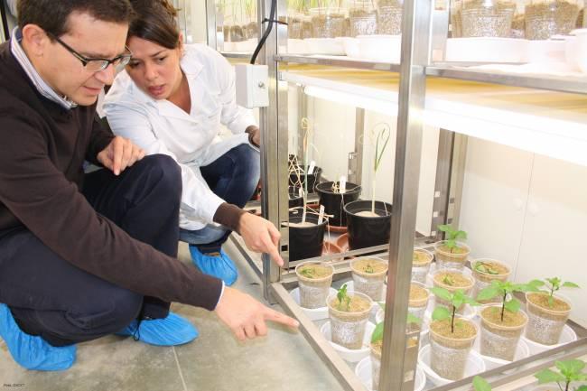 Científicos del IRENA, de la Universidad de León, en el invernadero.
