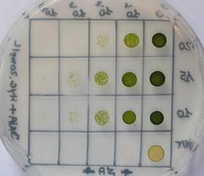 Microalgas. Imagen: Fundación Descubre